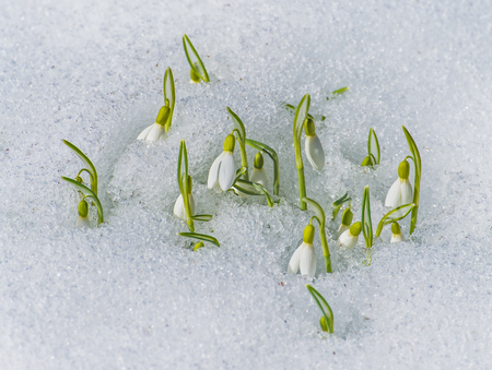 flowers garden: Spring snowdrop flowers with snow in the garden