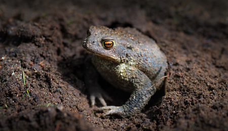 bufo toad: Common toad or European toad (Bufo bufo)