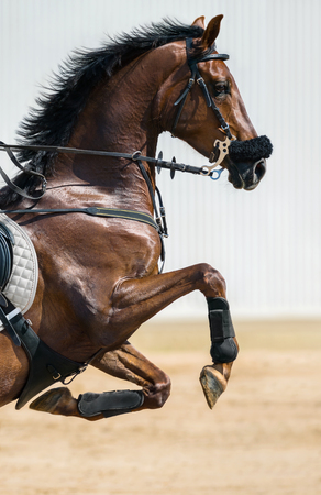 head profile: Portrait of a jumping horse in a hackamore on blurry backgrounds Stock Photo