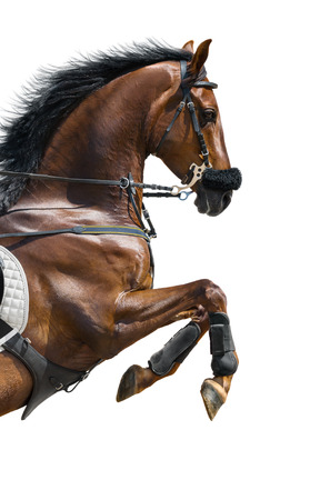 rearing: Close-up of chestnut jumping horse  in a hackamore on white background
