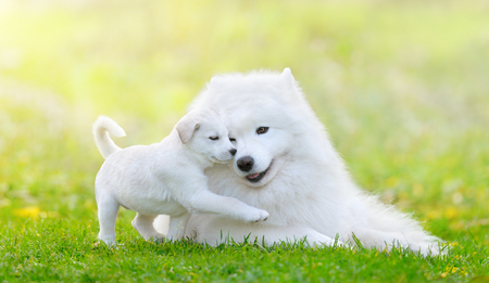 Portrait of two dogs lying down. Mixed breed white puppy and samoyed dog on light green background. Imagens