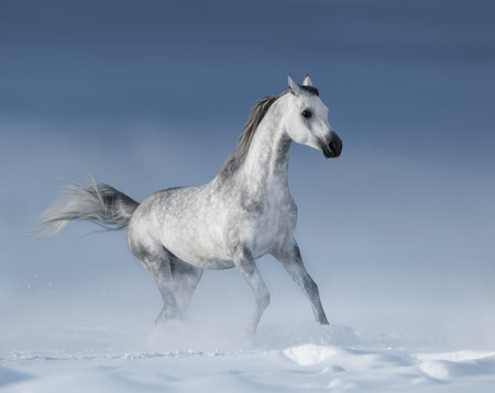 dapple horse: Purebred  grey arabian horse galloping over meadow in snow