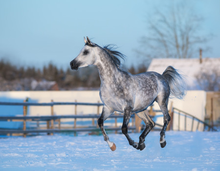 dapple grey: Galloping elegant stallion of purebred Arabian breed