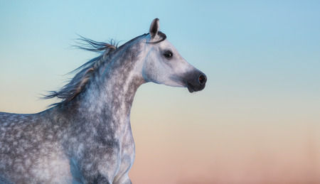 dapple grey: Portrait of gray purebred Arabian horse on background of evening sky