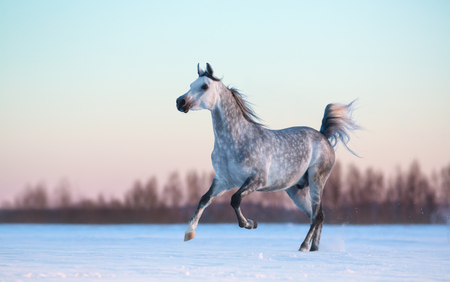 dapple grey: Galloping purebred Arabian stallion on winter snowfield at sunset Stock Photo