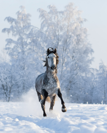 Grey purebred Spanish horse gallops on snowfield