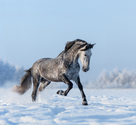 Grey purebred Andalusian horse gallops on snowfield 스톡 콘텐츠