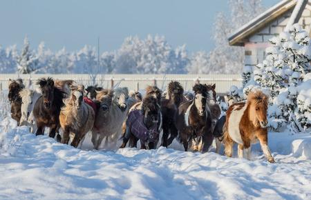 pinto: Herd of miniature horses galloping on walk Stock Photo