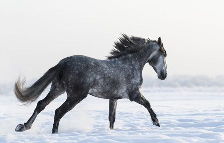 dapple grey: Grey Spanish horse galloping on field at winter time