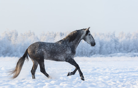 dapple grey: Grey Spanish horse cantering on meadow in fresh snow