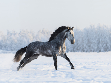 dapple grey: Grey Spanish horse gallping on field at winter time Stock Photo