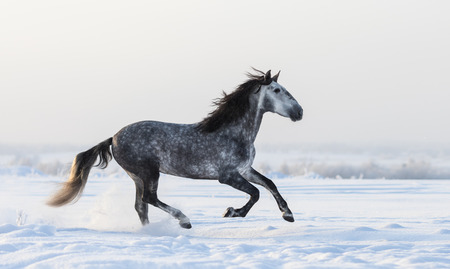 dapple grey: Grey Spanish horse galloping on meadow in fresh snow Stock Photo