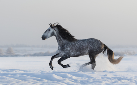 dapple grey: Purebred Spanish horse galloping across a winter snowy meadow