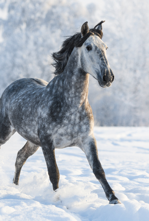 dapple grey: Dapple-grey Spanish horse run gallop in winter