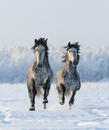 dapple horse: Two galloping Andalusian horses. Left horse are in focus. Stock Photo