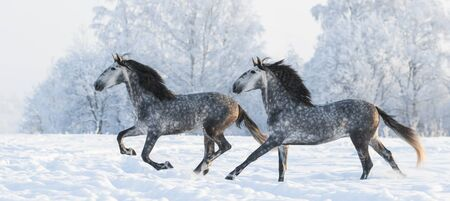 andalusian: Two grey Andalusian stallions gallop in winter