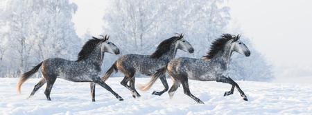 dapple grey: Horse herd run gallop across snowy field Stock Photo