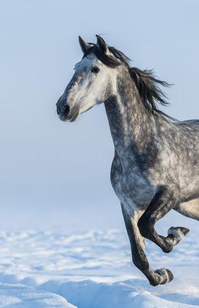 dapple grey: Dapple-grey horse - close up portrait in motion