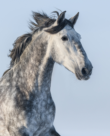 dapple grey: Vertical portrait of a gray horse on blue sky background