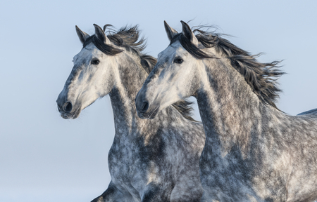 andalusian: Two grey Andalusian stallions - portrait in motion