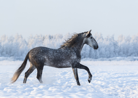 Grey Spanish horse cantering on field at winter time Stock Photo