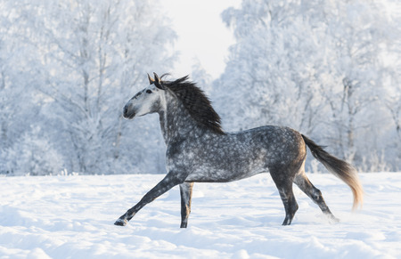 dapple grey: Dapple-grey horse run gallop in winter