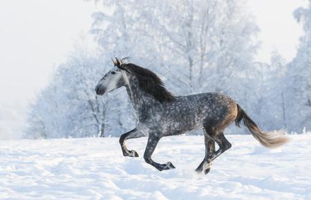 dapple grey: Grey Andalusian stallion run gallop in winter Stock Photo