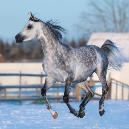 dapple grey: Dapple-grey stallion of Arabian breed galloping on snow meadow