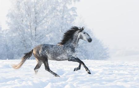 dapple grey: Dapple-grey Andalusian stallion gallop across snowy field