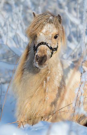 yegua: caballo miniatura americano - yegua Palomino Foto de archivo