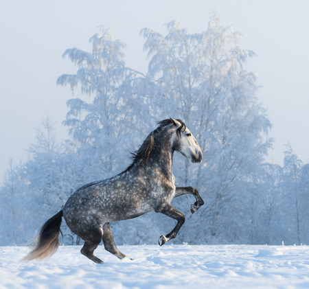rearing: Rearing purebred Spanish horse on snowfield