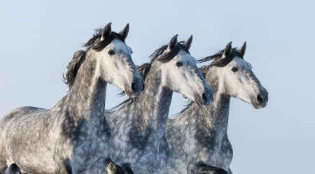 dapple horse: Three grey Andalusian stallions - portrait in motion Stock Photo