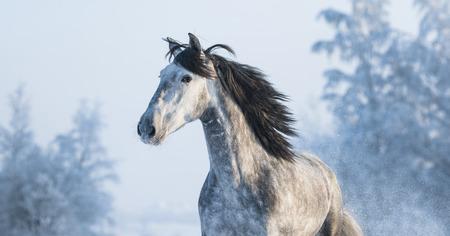 dapple grey: Portrait of grey purebred Spanish horse on winter background Stock Photo