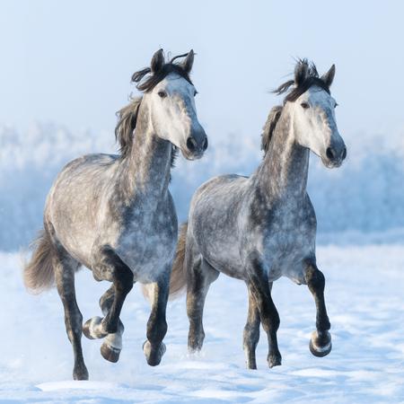 dapple grey: Two galloping daaple grey Spanish horses
