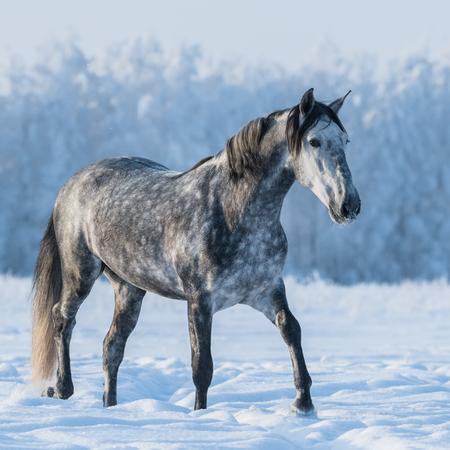 gray horse: Dapple gray horse walks on the winter field