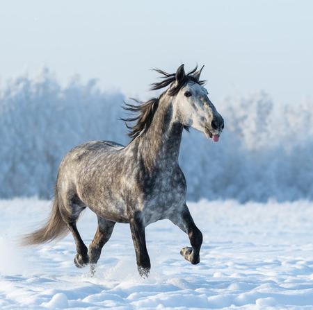 dapple grey: Funny dapple grey horse puts out tongue