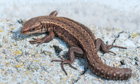 viviparous lizard: Common lizard on an gray stone without a tail