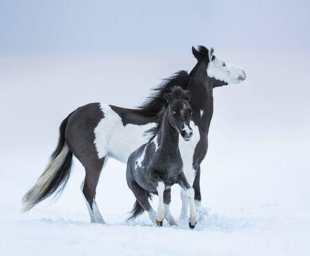 miniature breed: Mare whit foal on winter field. Breed horse - American miniature horse. Foto de archivo