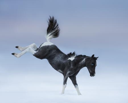miniature breed: En contra de potro de ojos azules. raza del caballo - caballo miniatura americano. Foto de archivo