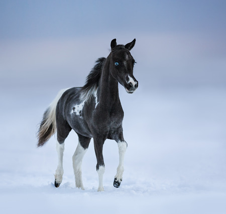 miniature breed: potro de ojos azules camina en el campo de nieve. raza del caballo - caballo miniatura americano.