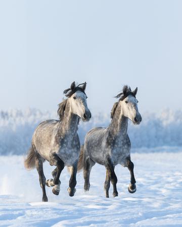 dapple grey: Two galloping gray Andalusian horse