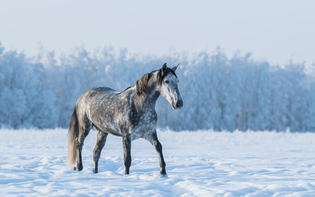 dapple grey: Lonely gray horse walks on the field at winter time Stock Photo
