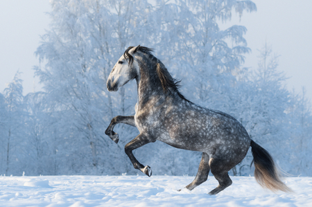 gray horse: Purebred Spanish horse prancing on winter meadow Stock Photo