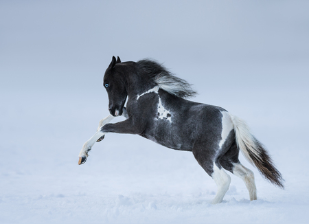pinto: American miniature horse. Blue-eyed foal playing on snow field.