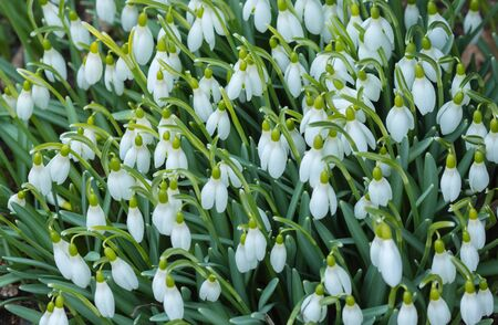 galanthus: Spring blossom background. Spring snowdrop (Galanthus nivalis) flowers