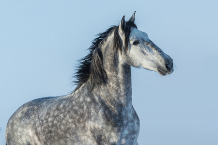 Gray Andalusian stallion. Portrait of Spanish horse on blue sky. Stock Photo