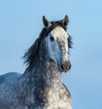 Gray Andalusian Horse. Portrait of Spanish horse on blue sky.