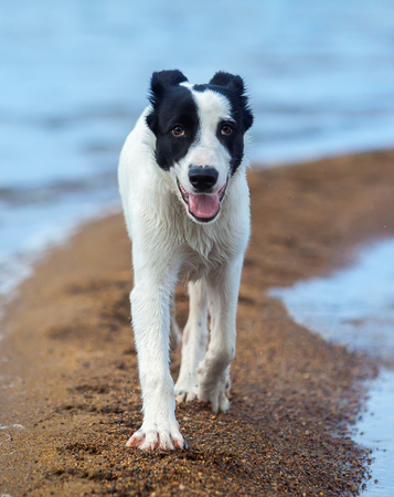 gait: Puppy of watchdog walks along sand spit on the seashore. Summertime vertical outdoors image. Close up.