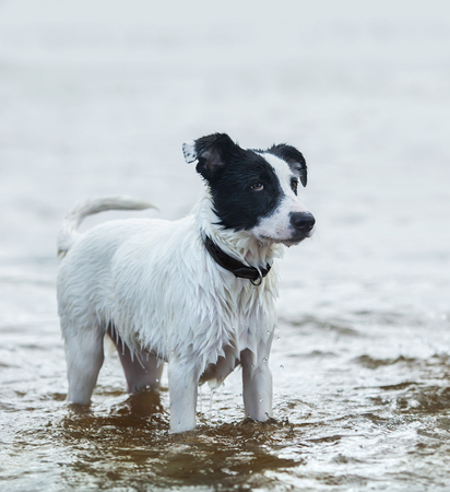 watchdog: Spotty watchdog standing in water on the seashore. Summertime vertical outdoors image.