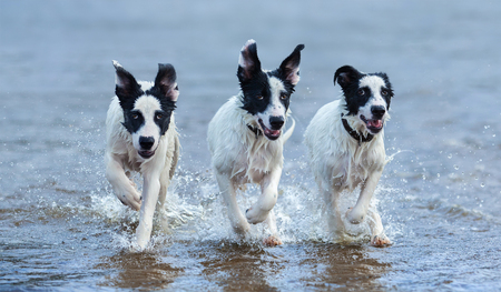 Three puppies of mongrel running on water. Horizontal composition. Front view.